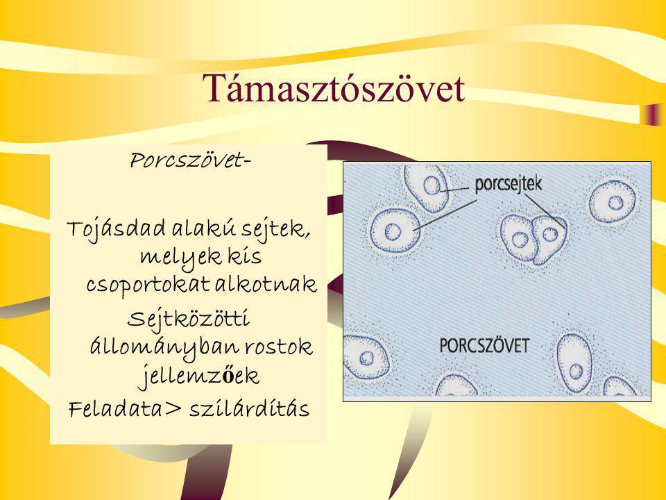 Támasztószövet Porcszövet- Tojásdad alakú sejtek, melyek kis csoportokat alkotnak Sejtközötti állományban rostok jellemz ő ek Feladata> szilárdítás