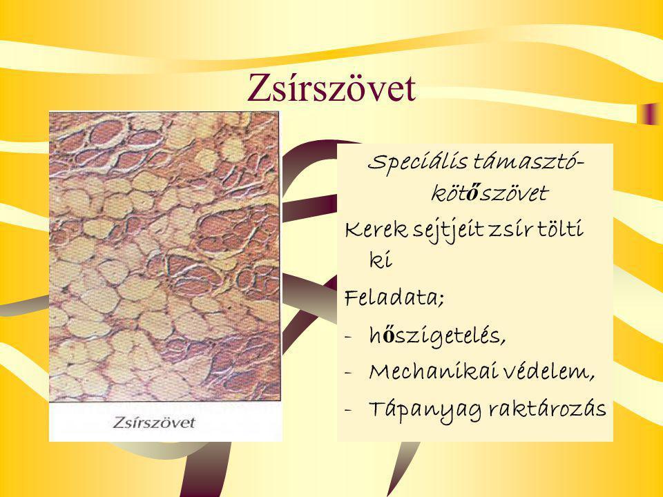 Zsírszövet Speciális támasztó- köt ő szövet Kerek sejtjeit zsír tölti ki Feladata; -h-h ő szigetelés, -M-Mechanikai védelem, -T-Tápanyag raktározás
