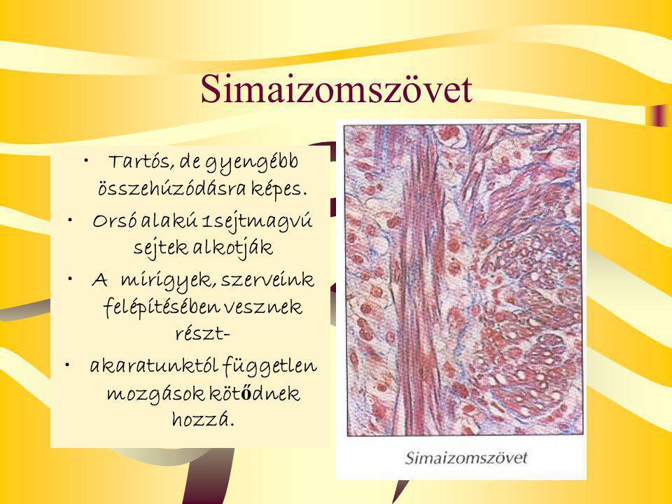 Simaizomszövet Tartós, de gyengébb összehúzódásra képes.