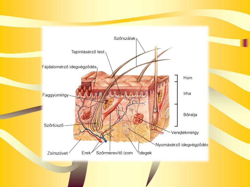 Harántcsíkolt izomnyaláb szerkezete