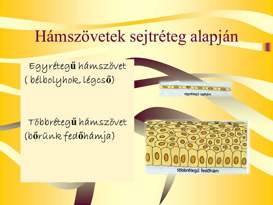 Hámszövetek sejtréteg alapján Egyréteg ű hámszövet ( bélbolyhok, légcs ő ) Többréteg ű hámszövet (b ő rünk fed ő hámja)