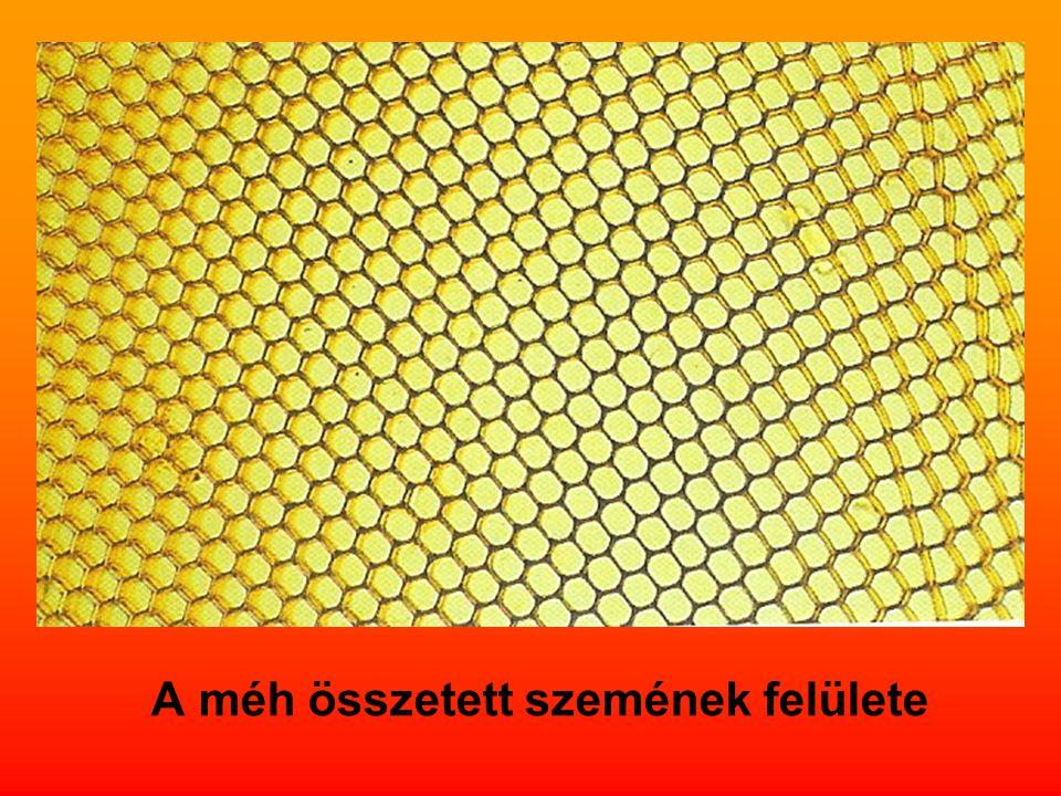 A méh összetett szemének felülete