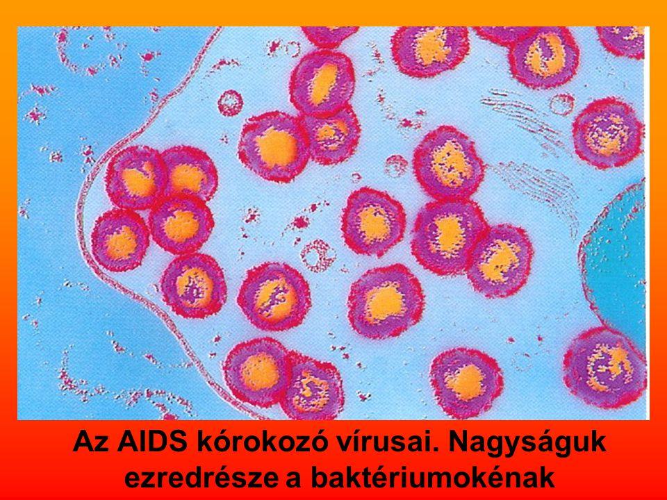 Az AIDS kórokozó vírusai. Nagyságuk ezredrésze a baktériumokénak