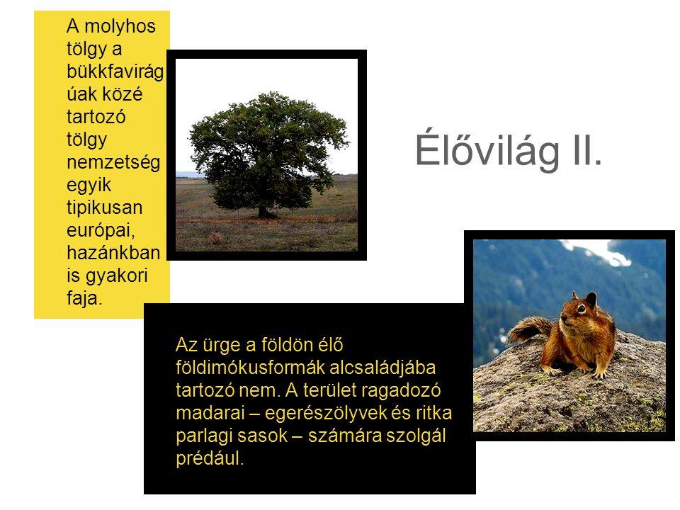 Élővilág II. A molyhos tölgy a bükkfavirág úak közé tartozó tölgy nemzetség egyik tipikusan európai, hazánkban is gyakori faja. Az ürge a földön élő f