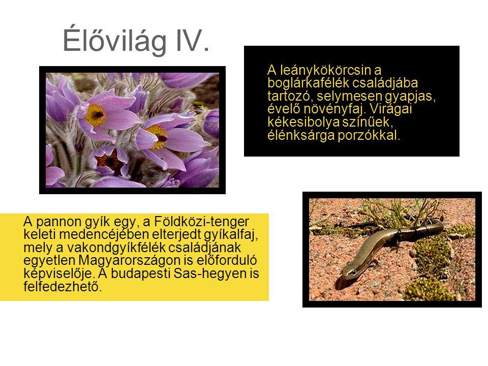 Élővilág IV. A pannon gyík egy, a Földközi-tenger keleti medencéjében elterjedt gyíkalfaj, mely a vakondgyíkfélék családjának egyetlen Magyarországon