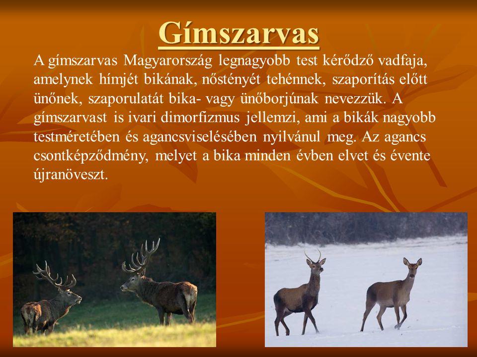 Gímszarvas A gímszarvas Magyarország legnagyobb test kérődző vadfaja, amelynek hímjét bikának, nőstényét tehénnek, szaporítás előtt ünőnek, szaporulat