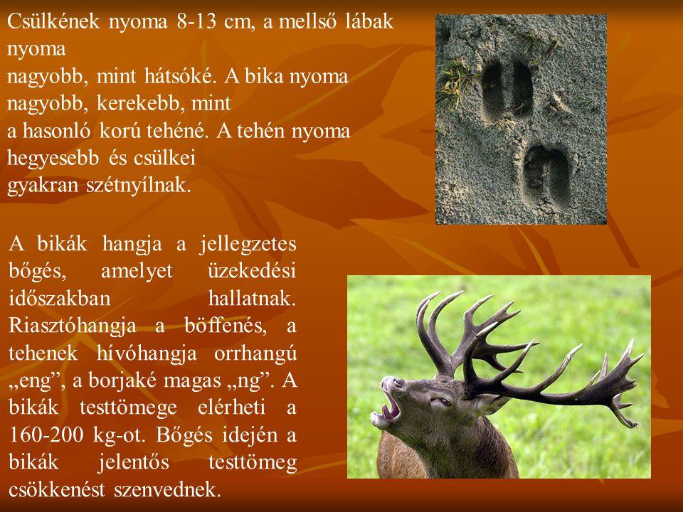 Csülkének nyoma 8-13 cm, a mellső lábak nyoma nagyobb, mint hátsóké. A bika nyoma nagyobb, kerekebb, mint a hasonló korú tehéné. A tehén nyoma hegyese