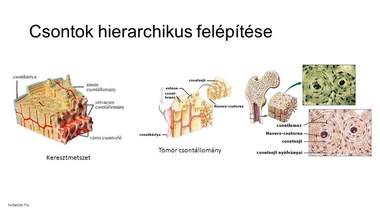 Csontok hierarchikus felépítése Keresztmetszet Tömör csontállomány tudastar.hu