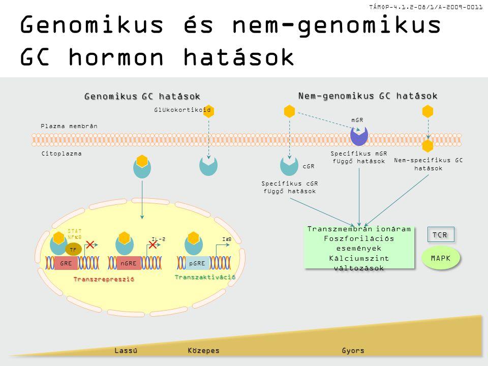 TÁMOP-4.1.2-08/1/A-2009-0011 Genomikus és nem-genomikus GC hormon hatásokLassú KözepesGyors Transzmembrán ionáram Foszforilációs események Kálciumszin