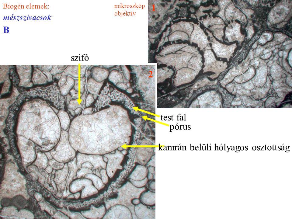 Biogén elemek: mészszivacsok 1 2 test fal kamrán belüli hólyagos osztottság pórus szifó B mikroszkóp objektív