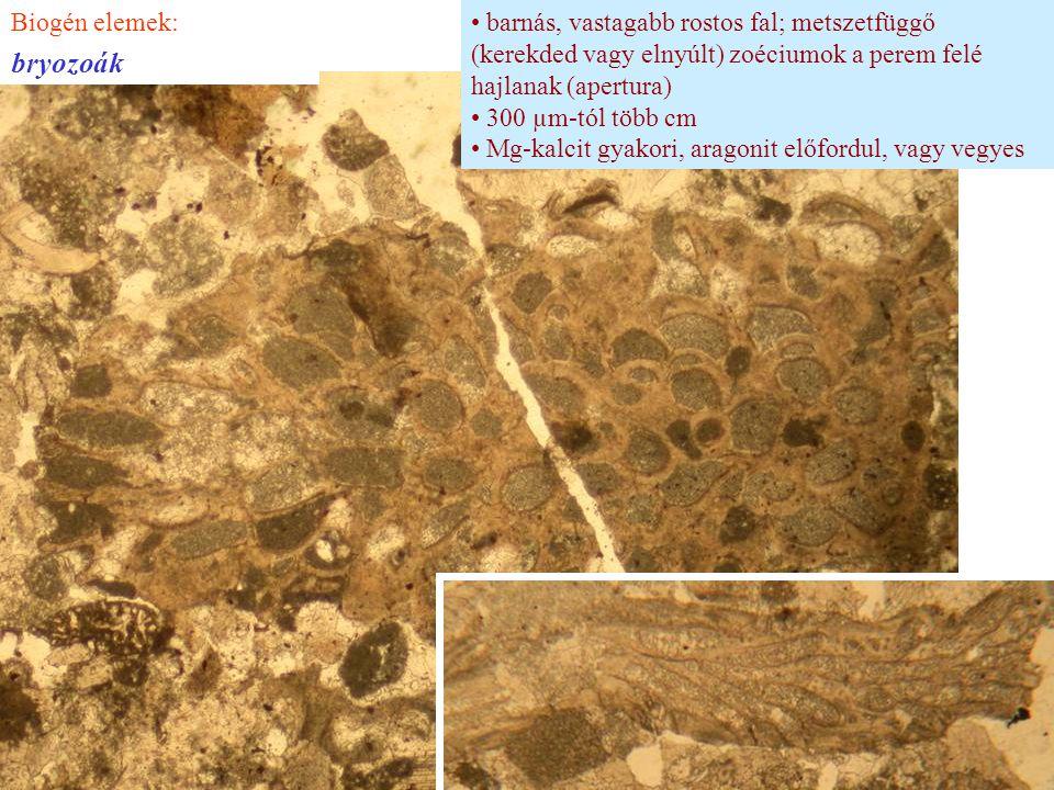 barnás, vastagabb rostos fal; metszetfüggő (kerekded vagy elnyúlt) zoéciumok a perem felé hajlanak (apertura) 300 µm-tól több cm Mg-kalcit gyakori, ar