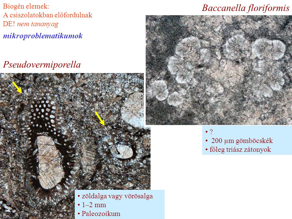 zöldalga vagy vörösalga 1–2 mm Paleozoikum Biogén elemek: A csiszolatokban előfordulnak DE! nem tananyag mikroproblematikumok Pseudovermiporella Bacca