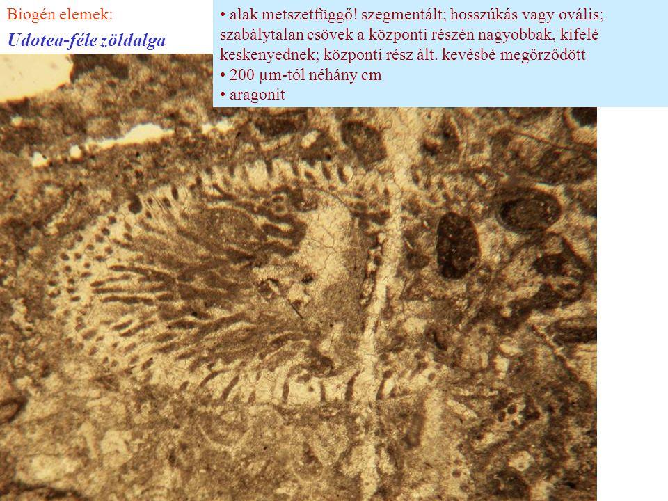 alak metszetfüggő! szegmentált; hosszúkás vagy ovális; szabálytalan csövek a központi részén nagyobbak, kifelé keskenyednek; központi rész ált. kevésb