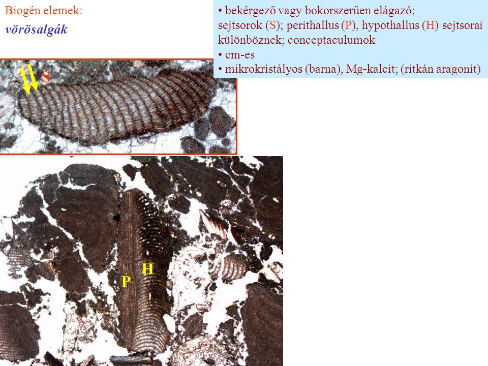 bekérgező vagy bokorszerűen elágazó; sejtsorok (S); perithallus (P), hypothallus (H) sejtsorai különböznek; conceptaculumok cm-es mikrokristályos (bar