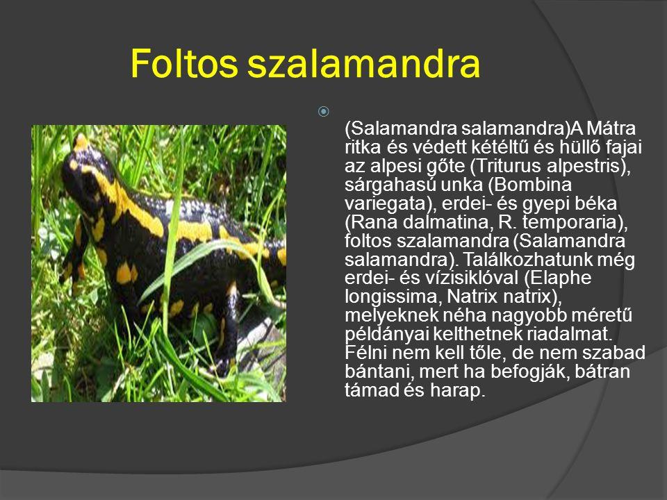 Foltos szalamandra  (Salamandra salamandra)A Mátra ritka és védett kétéltű és hüllő fajai az alpesi gőte (Triturus alpestris), sárgahasú unka (Bombin
