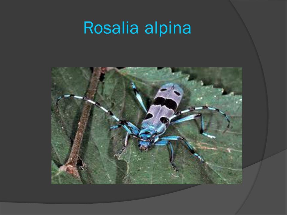 Rosalia alpina