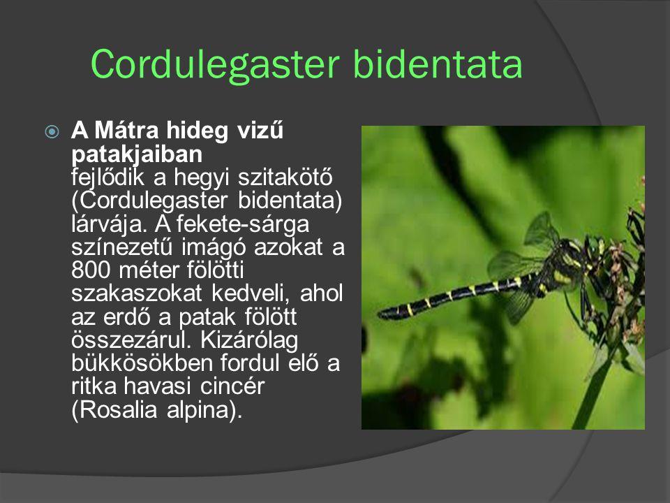 Cordulegaster bidentata  A Mátra hideg vizű patakjaiban fejlődik a hegyi szitakötő (Cordulegaster bidentata) lárvája. A fekete-sárga színezetű imágó