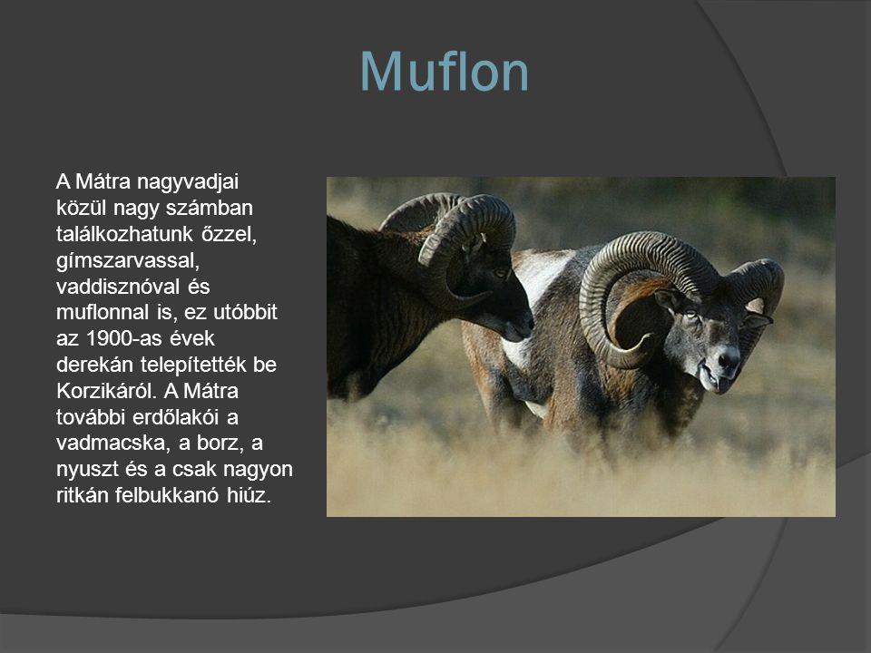 Muflon A Mátra nagyvadjai közül nagy számban találkozhatunk őzzel, gímszarvassal, vaddisznóval és muflonnal is, ez utóbbit az 1900-as évek derekán tel