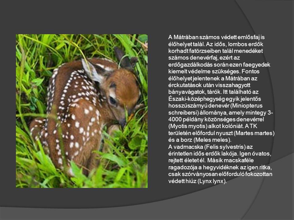 A Mátrában számos védett emlősfaj is élőhelyet talál. Az idős, lombos erdők korhadt fatörzseiben talál menedéket számos denevérfaj, ezért az erdőgazdá