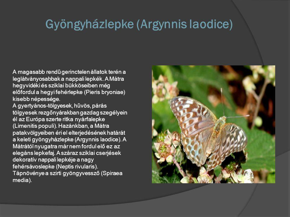 Gyöngyházlepke (Argynnis laodice) A magasabb rendű gerinctelen állatok terén a leglátványosabbak a nappali lepkék. A Mátra hegyvidéki és sziklai bükkö