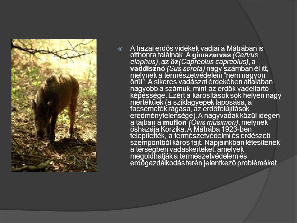  A hazai erdős vidékek vadjai a Mátrában is otthonra találnak. A gímszarvas (Cervus elaphus), az őz(Capreolus capreolus), a vaddisznó (Sus scrofa) na