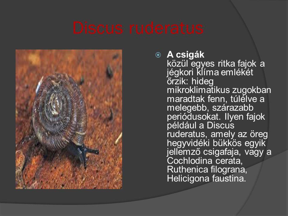 Discus ruderatus  A csigák közül egyes ritka fajok a jégkori klíma emlékét őrzik: hideg mikroklimatikus zugokban maradtak fenn, túlélve a melegebb, s