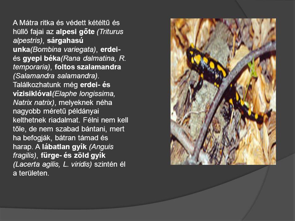 A Mátra ritka és védett kétéltű és hüllő fajai az alpesi gőte (Triturus alpestris), sárgahasú unka(Bombina variegata), erdei- és gyepi béka(Rana dalma