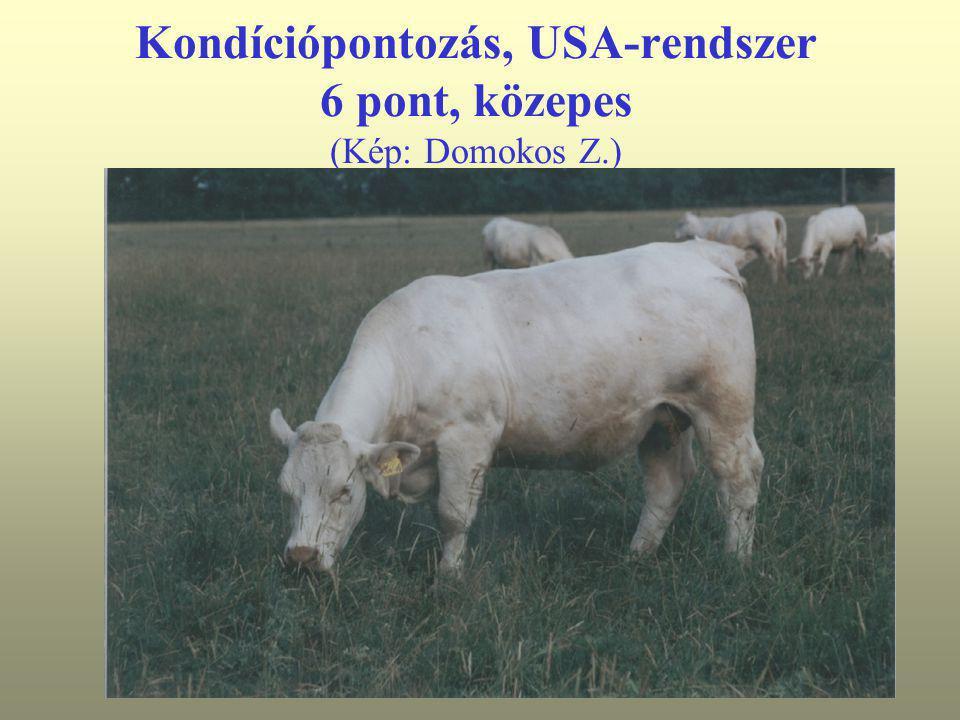 Kondíciópontozás, USA-rendszer 6 pont, közepes (Kép: Domokos Z.)