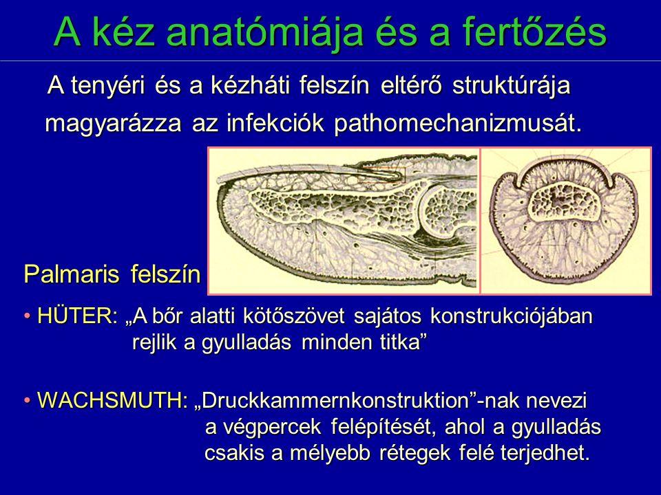 A kéz anatómiája és a fertőzés A tenyéri és a kézháti felszín eltérő struktúrája A tenyéri és a kézháti felszín eltérő struktúrája magyarázza az infek