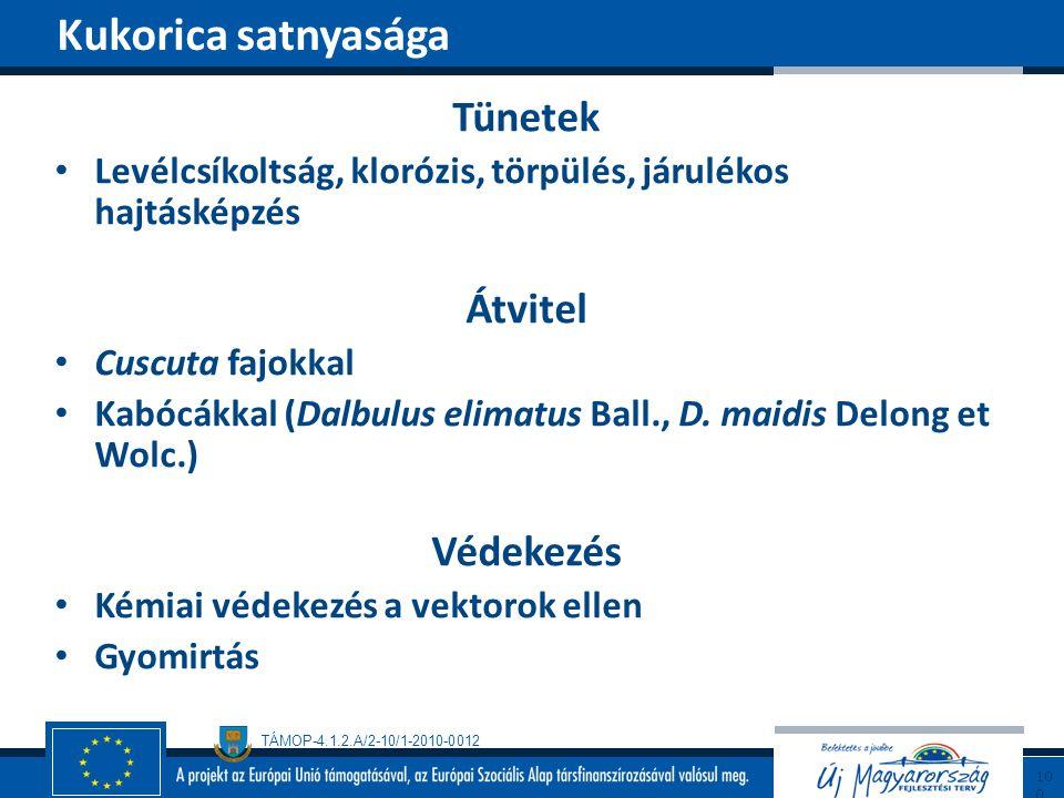 TÁMOP-4.1.2.A/2-10/1-2010-0012 Tünetek Levélcsíkoltság, klorózis, törpülés, járulékos hajtásképzés Átvitel Cuscuta fajokkal Kabócákkal (Dalbulus elima