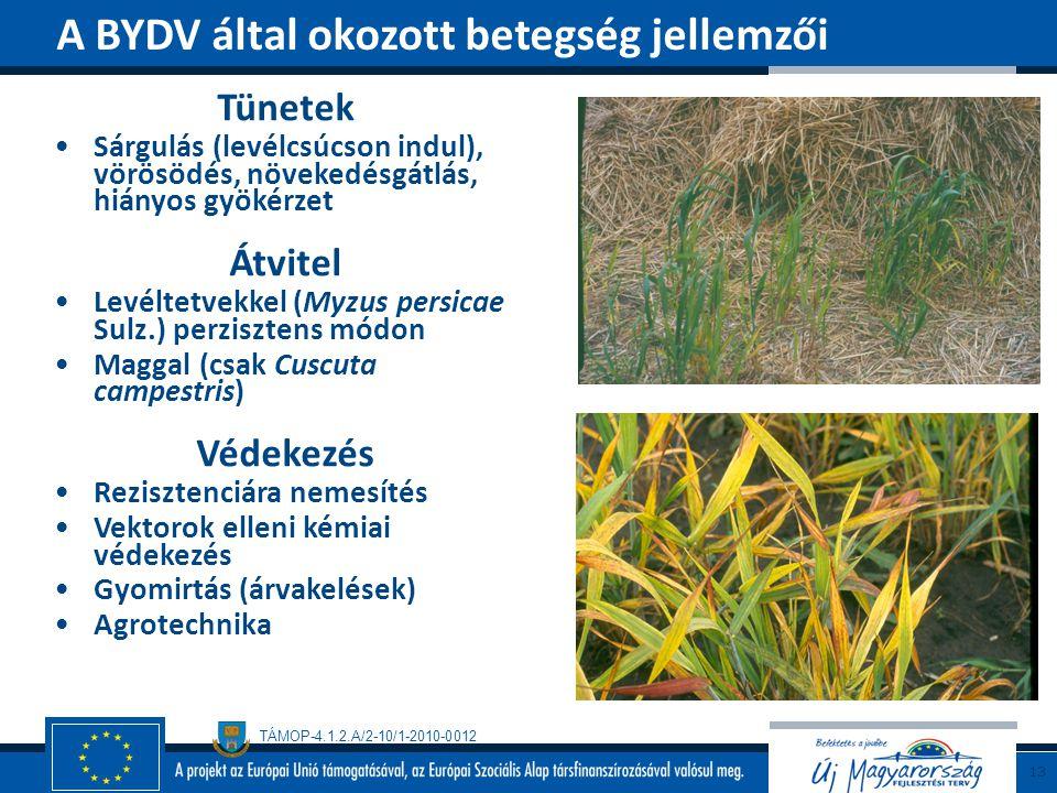 TÁMOP-4.1.2.A/2-10/1-2010-0012 Tünetek Sárgulás (levélcsúcson indul), vörösödés, növekedésgátlás, hiányos gyökérzet Átvitel Levéltetvekkel (Myzus pers