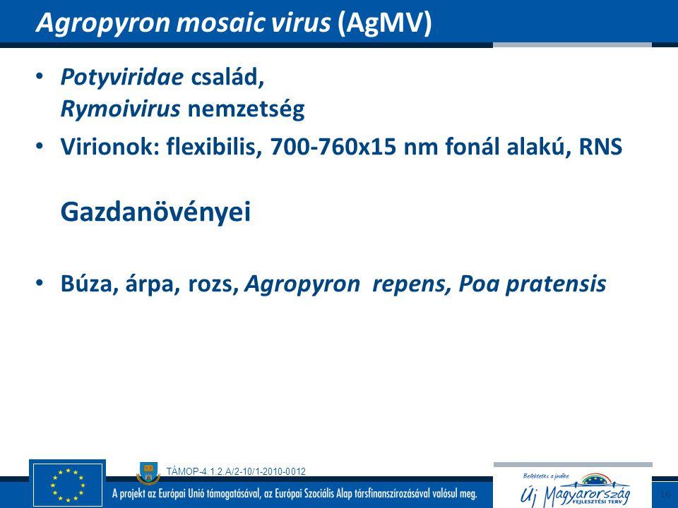TÁMOP-4.1.2.A/2-10/1-2010-0012 Potyviridae család, Rymoivirus nemzetség Virionok: flexibilis, 700-760x15 nm fonál alakú, RNS Gazdanövényei Búza, árpa,