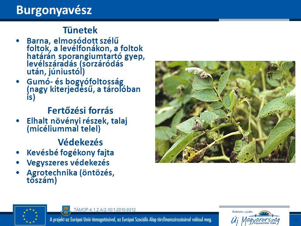 TÁMOP-4.1.2.A/2-10/1-2010-0012 Tünetek Barna, elmosódott szélű foltok, a levélfonákon, a foltok határán sporangiumtartó gyep, levélszáradás (sorzáródá