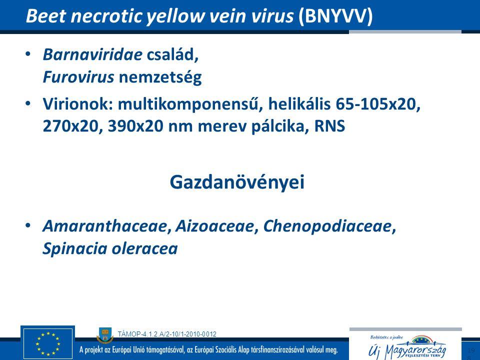 TÁMOP-4.1.2.A/2-10/1-2010-0012 Barnaviridae család, Furovirus nemzetség Virionok: multikomponensű, helikális 65-105x20, 270x20, 390x20 nm merev pálcik