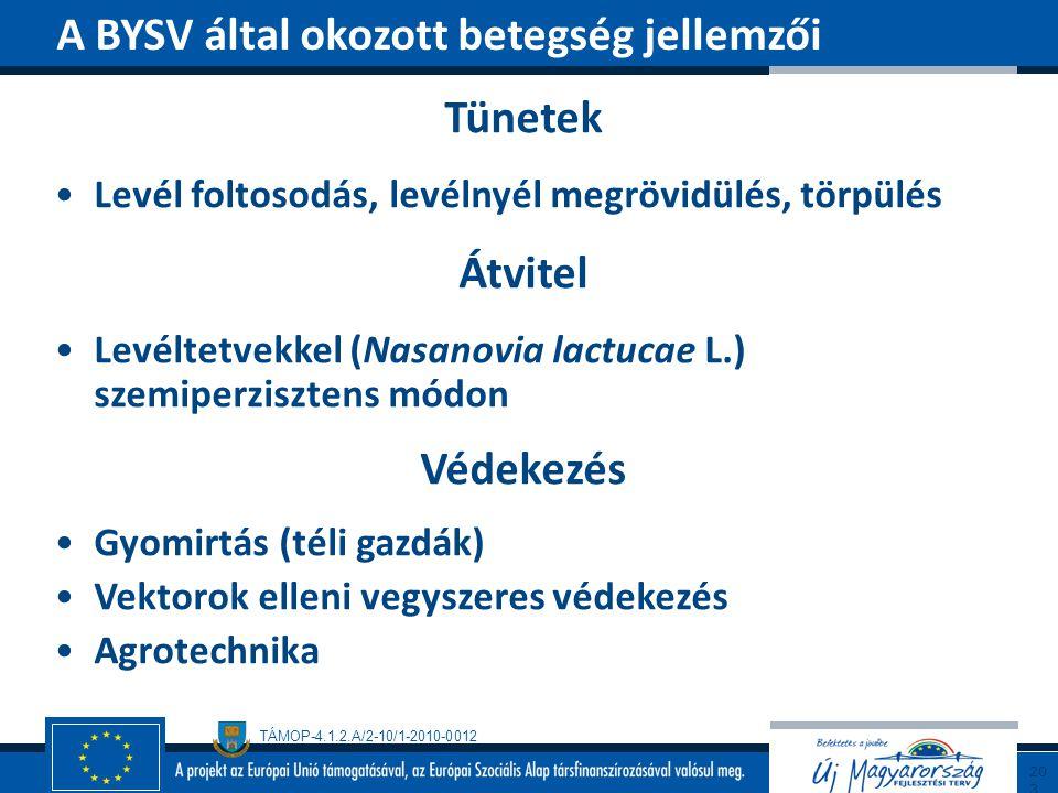 TÁMOP-4.1.2.A/2-10/1-2010-0012 Tünetek Levél foltosodás, levélnyél megrövidülés, törpülés Átvitel Levéltetvekkel (Nasanovia lactucae L.) szemiperziszt