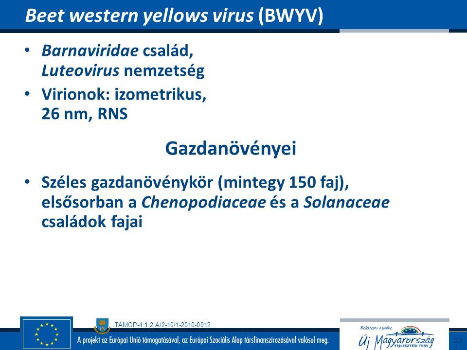 TÁMOP-4.1.2.A/2-10/1-2010-0012 Barnaviridae család, Luteovirus nemzetség Virionok: izometrikus, 26 nm, RNS Gazdanövényei Széles gazdanövénykör (minteg