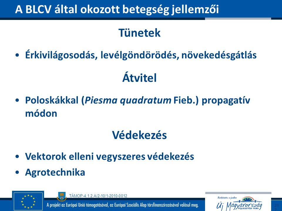 TÁMOP-4.1.2.A/2-10/1-2010-0012 Tünetek Érkivilágosodás, levélgöndörödés, növekedésgátlás Átvitel Poloskákkal (Piesma quadratum Fieb.) propagatív módon
