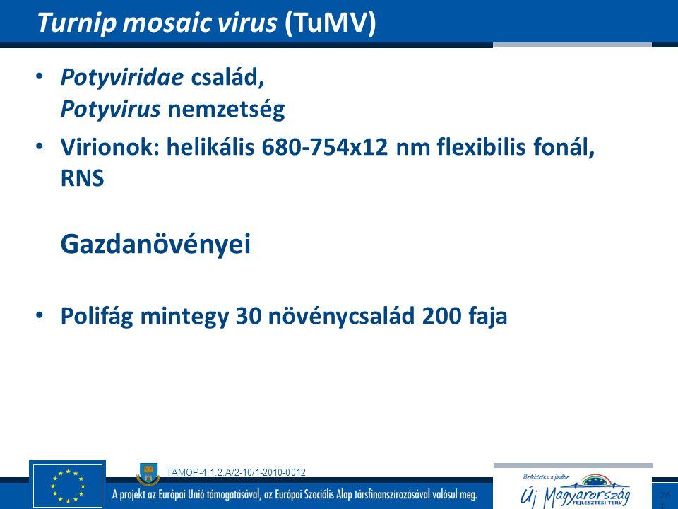 TÁMOP-4.1.2.A/2-10/1-2010-0012 Potyviridae család, Potyvirus nemzetség Virionok: helikális 680-754x12 nm flexibilis fonál, RNS Gazdanövényei Polifág m