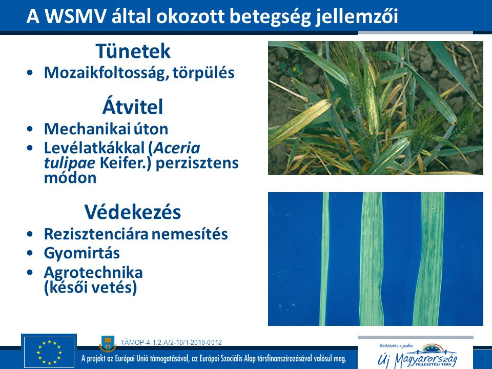 TÁMOP-4.1.2.A/2-10/1-2010-0012 Hűvösebb klímájú területeken Elterjedt Gazdanövénykör Bab Biológia Micéliummal telel Konídiumokkal, rovarokkal, esővel, széllel terjed Kedvező a hűvös (18 o C), csapadékos nyár Colletotrichum lindemuthianum (Sacc.