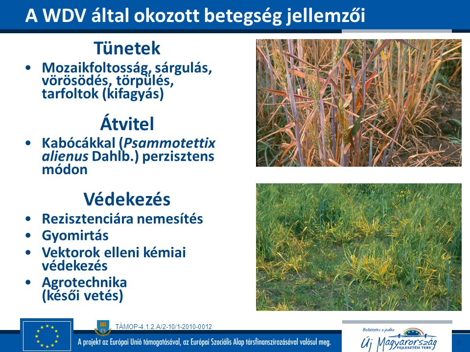 TÁMOP-4.1.2.A/2-10/1-2010-0012 Tünetek Csíranövény-rothadás Hervadás A száron (hüvelyen) barnuló foltok, rajtuk fehér, vattaszerű micélium-bevonat, a szár belsejében szkleróciumok Fertőzési forrás Talaj, vetőmagtételek (szklerócium, micélium) Védekezés Agrotechnika (tápanyagellátás, vetésforgó) Egészséges (szklerócium-mentes) vetőmag Hiperparazita gombák: Coniothyrium sp., Trichoderma sp.