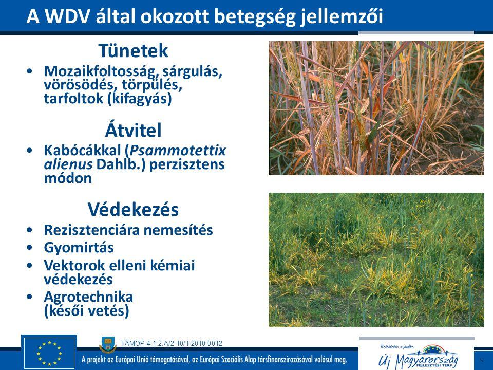TÁMOP-4.1.2.A/2-10/1-2010-0012 Barnaviridae család, Hordeivirus nemzetség Virionok: multikomponensű (3), 112-150x18-24 nm pálcika, RNS Gazdanövényei Búza, árpa, zab, rozs, kukorica, Amaranthus spp., Bromus spp., Sorghum bicolor, Spinacia oleracea Barley stripe mosaic virus (BSMV) 10