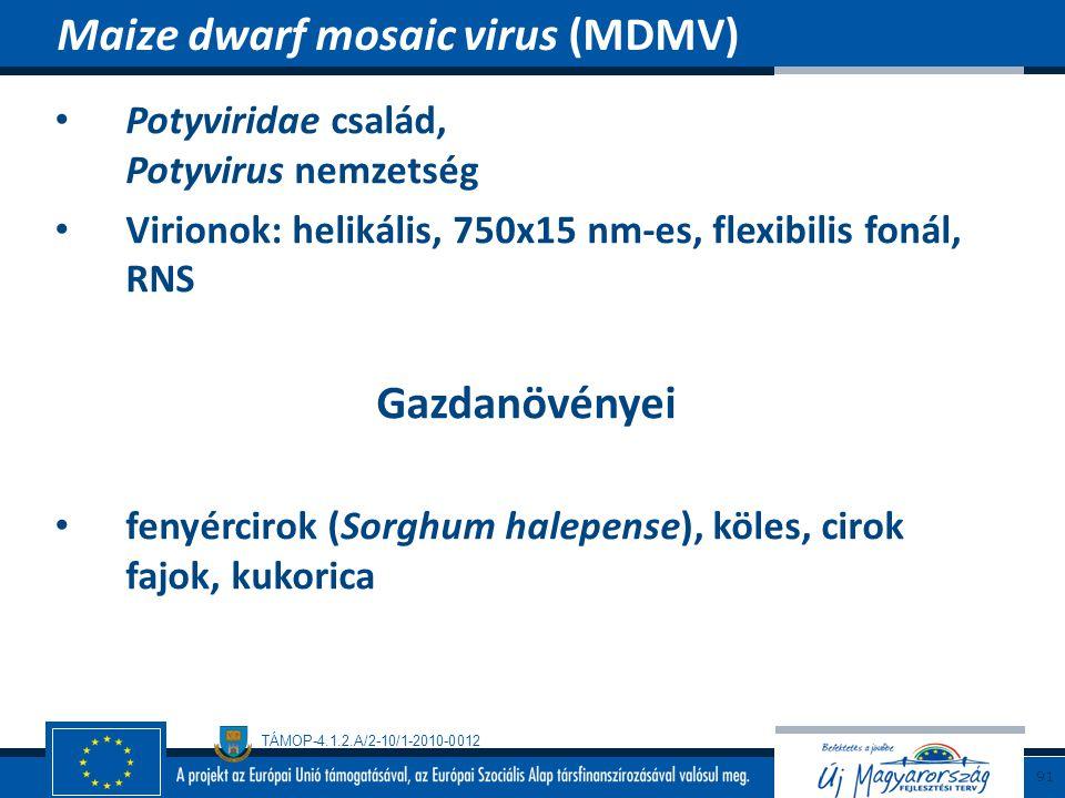 TÁMOP-4.1.2.A/2-10/1-2010-0012 Potyviridae család, Potyvirus nemzetség Virionok: helikális, 750x15 nm-es, flexibilis fonál, RNS Gazdanövényei fenyérci