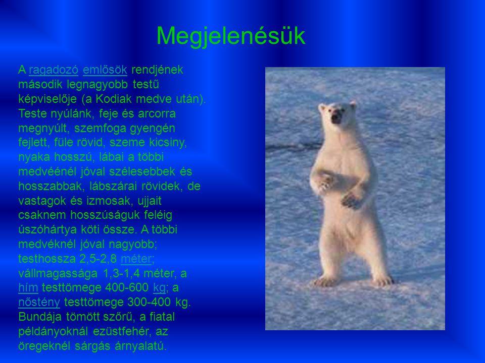 A jegesmedve szinte állandóan vándorúton van, s emiatt még saját territóriumot sem tart.
