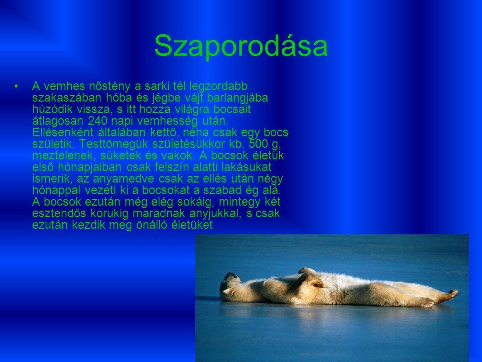 Táplálék jegesmedve fő tápláléka a fóka,jóllehet általában csak a fókazsírt,a bőrt és a belsőségeket eszi meg, a húst nem.