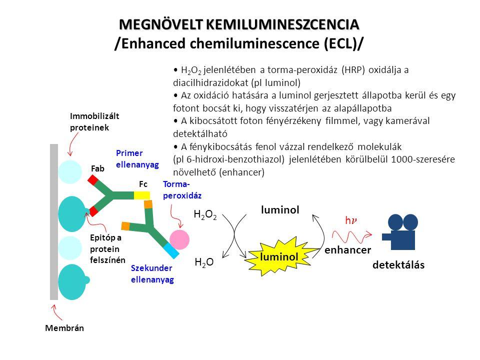 Fab Fc Epitóp a protein felszínén Primer ellenanyag Szekunder ellenanyag Torma- peroxidáz Immobilizált proteinek Membrán H2O2H2O2 H2OH2O luminol enhan