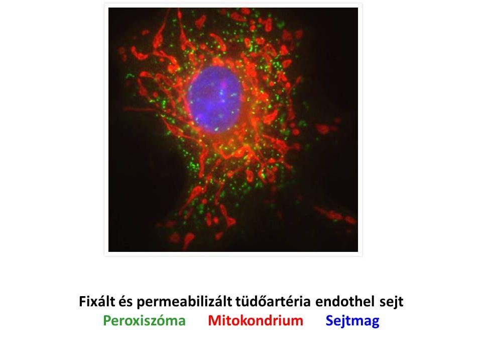 Fixált és permeabilizált tüdőartéria endothel sejt Peroxiszóma Mitokondrium Sejtmag