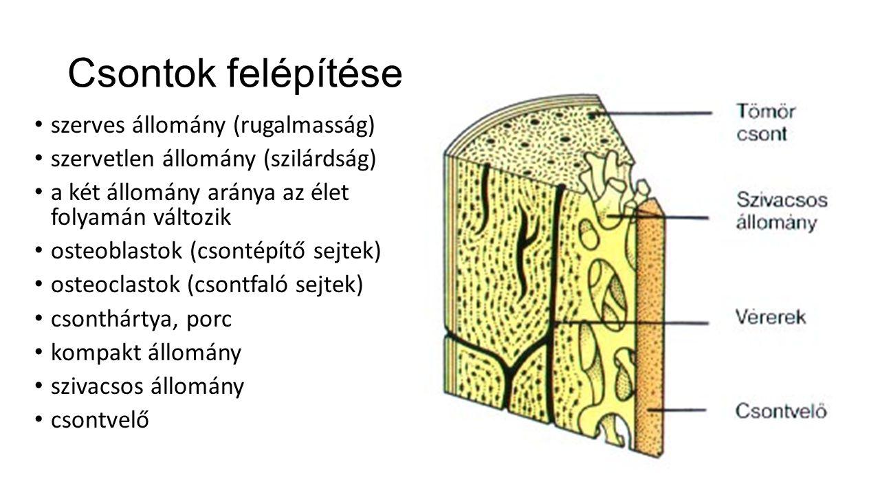Csontok felépítése szerves állomány (rugalmasság) szervetlen állomány (szilárdság) a két állomány aránya az élet folyamán változik osteoblastok (csont