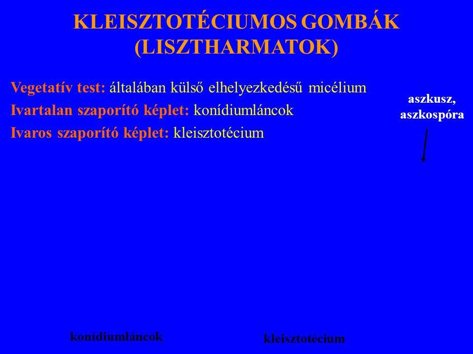 KLEISZTOTÉCIUMOS GOMBÁK (LISZTHARMATOK) Vegetatív test: általában külső elhelyezkedésű micélium Ivartalan szaporító képlet: konídiumláncok Ivaros szaporító képlet: kleisztotécium konídiumláncok kleisztotécium aszkusz, aszkospóra
