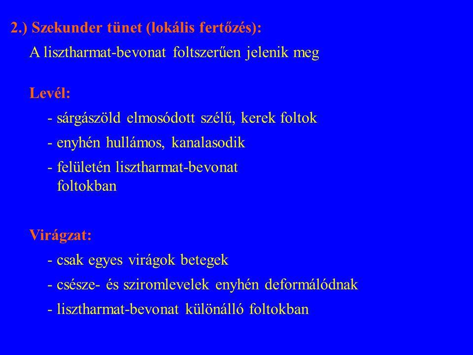 2.) Szekunder tünet (lokális fertőzés): A lisztharmat-bevonat foltszerűen jelenik meg Levél: - sárgászöld elmosódott szélű, kerek foltok - enyhén hullámos, kanalasodik - felületén lisztharmat-bevonat foltokban Virágzat: - csak egyes virágok betegek - csésze- és sziromlevelek enyhén deformálódnak - lisztharmat-bevonat különálló foltokban