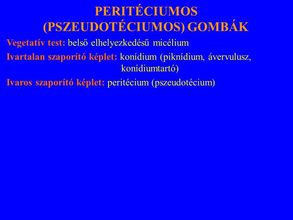 PERITÉCIUMOS (PSZEUDOTÉCIUMOS) GOMBÁK Vegetatív test: belső elhelyezkedésű micélium Ivartalan szaporító képlet: konídium (piknídium, ávervulusz, konídiumtartó) Ivaros szaporító képlet: peritécium (pszeudotécium)